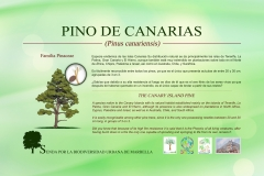 pino-de-canarias-low