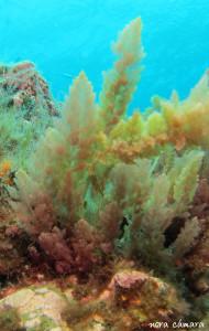 Algas verdes de porte arbustivo y en la base, algunas algas incrustantes de tonalidades rosadas y moradas, en la base.