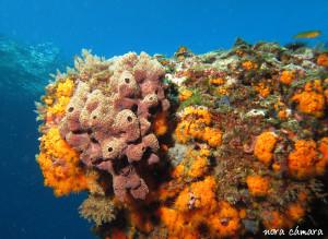 En la parte izquierda de la roca encontramos una colonia de esponjas, que se distingue claramente, de los pólipos naranjas e incrustaciones de algas, por sus orificios tan evidentes.