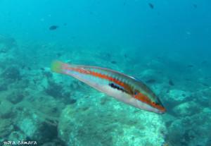Sobre la roca pululan inquietas las julias y castañuelas, dando un toque de color y vida en las inmediaciones rocosas más superficiales. Estos peces se denominan bentónicos, ya que viven en continua relación con el lecho marino.