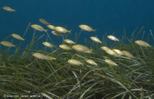 La Hierba de Poseidón, o también Posidonia oceanica, forma extensas praderas que acumulan mucha riqueza y variedad en especies marinas.