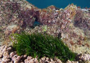 Ejemplo de fondo mixto donde una pradera de Posidonia oceanica, convive en el parche de arena que queda sobre la roca.